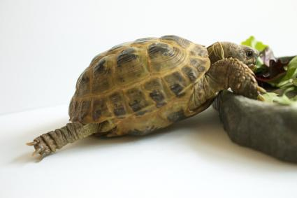 Russian Tortoise Stretching while Eating Greens