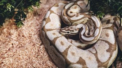 Vanilla Bee Python Snake in home terrarium