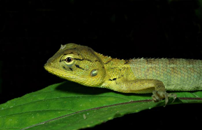 Chameleon pet on a branch