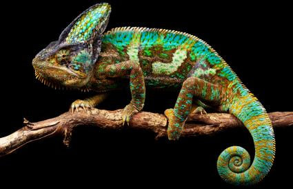 chameleon on his favorite stick