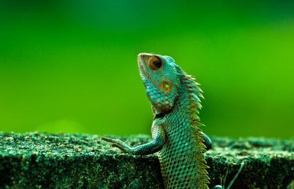An Indian chameleon in Kerala