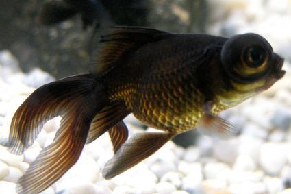 Black moor fantail fish