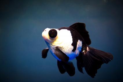 Goldfish panda