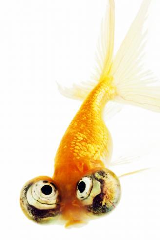 Celestial eyed gold fish (Carassius auratus)