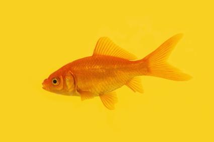 Single orange goldfish swimming on a yellow background