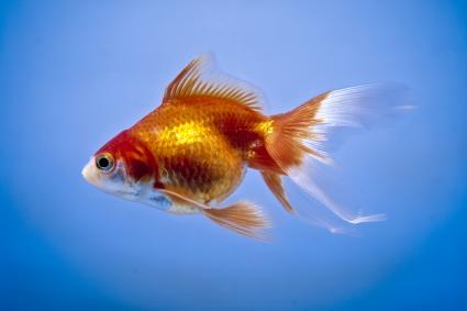 Goldfish, carassius auratus