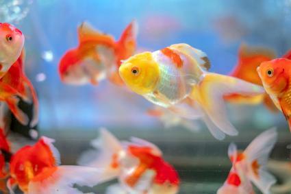 Beautiful red and white Oranda goldfish