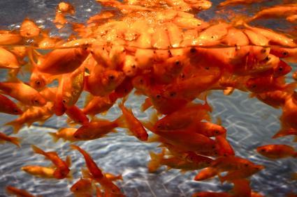 Wakin Goldfish in aquarium