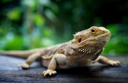 Bearded Dragon standing on wood