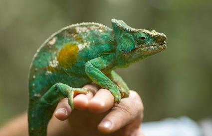 Chameleon on a man hand