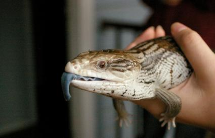 native blue-tongued lizard