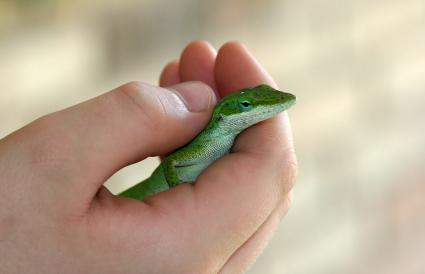 Green Anole in Hand