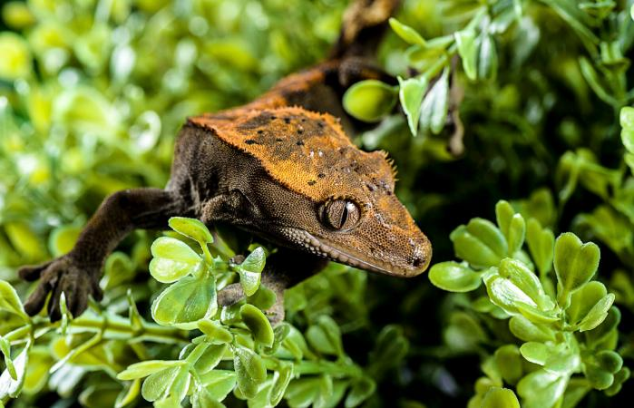 Crested gecko on leafs