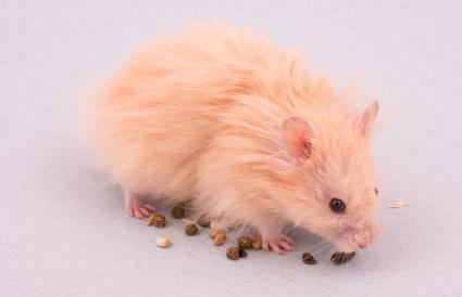 Red-Eye Hamster