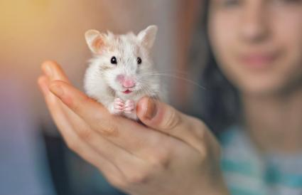 Common white hamster held in the hand