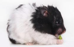 Panda hamster eating green pepper