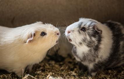 Guinea Pigs At Home