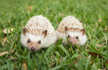 Two hedgehogs on the grass