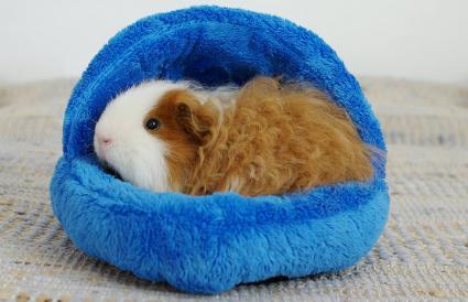 Longhair texel guinea pig