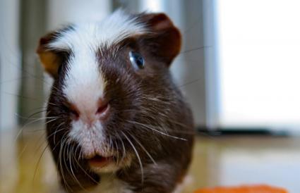 White crested guinea pig