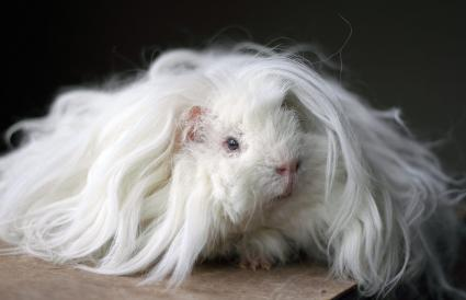 long haired lunkarya guinea pig
