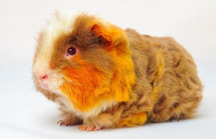 Merino Guinea Pig