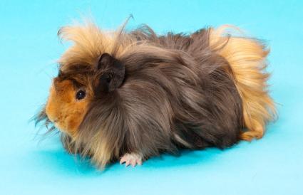 Sheba Guinea Pig