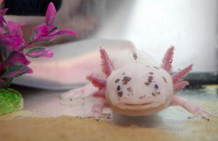 Cute axolotl closeup