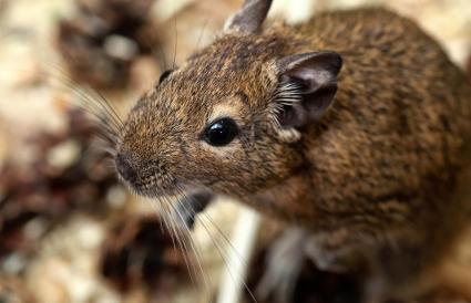 Little cute gray mouse Degou