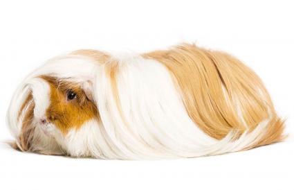 Silkie Satin Guinea Pig