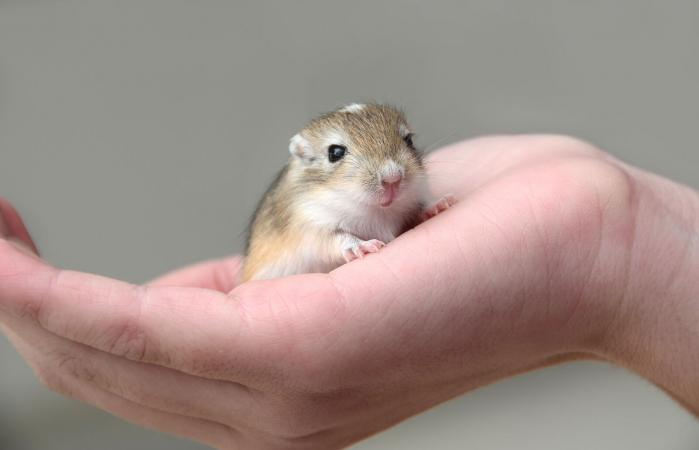 Baby gerbil in child's hand