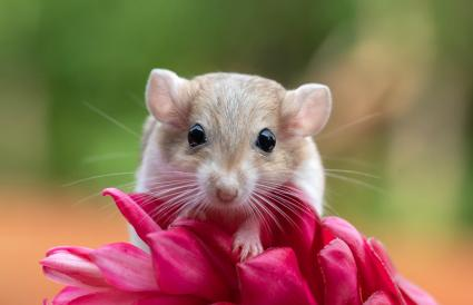 gerbil on a tropical flower