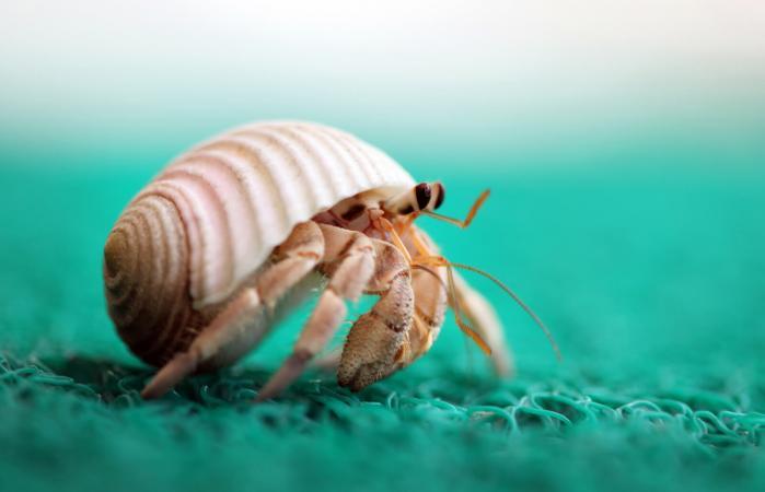 hermit crab running