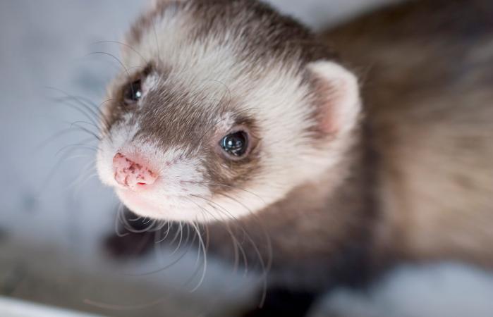 cute pet ferret