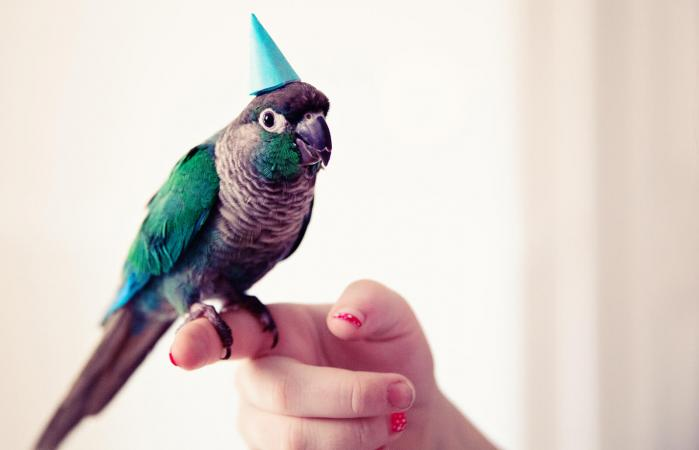 Turquoise conure parrot