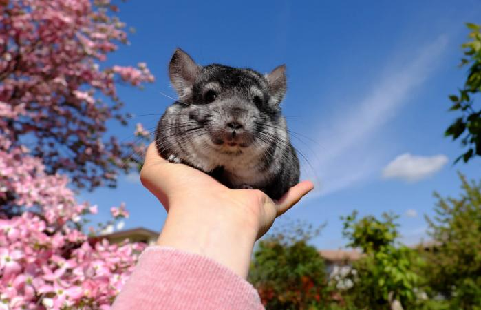 Chinchilla sitting on hand