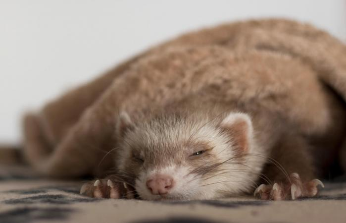 ferret sleeping