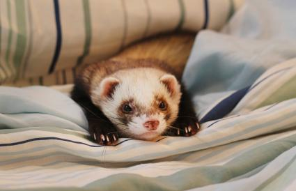 Ferret chilling under blanket