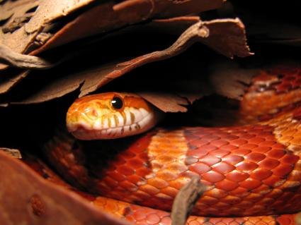Corn snake peeping out from leaves