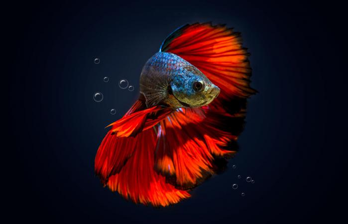 Happy betta fish swimming