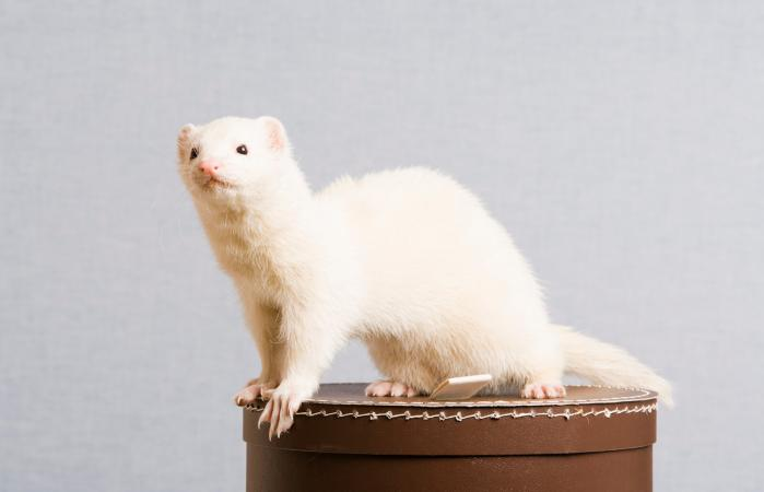 ferret sitting on hat box
