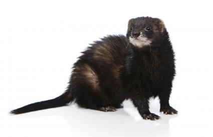 Pretty black ferret