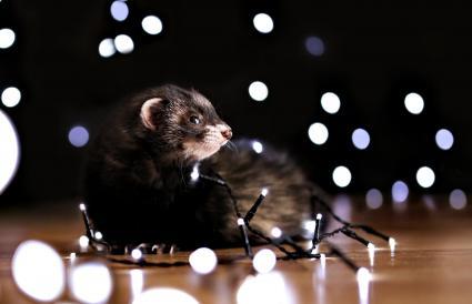 Black sable ferret