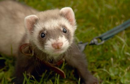 Chocolate pet ferret