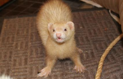 Adult female ferret cinnamon