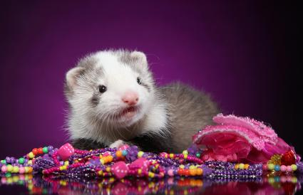 Ferret puppy with beads