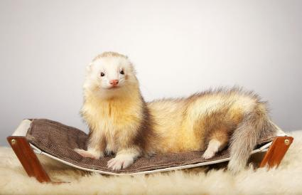 Nice light color ferret