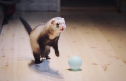 Siamese ferret