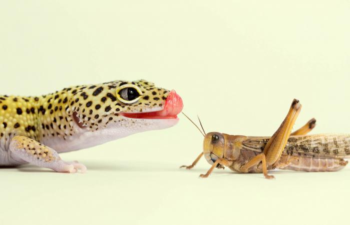 Leopard gecko eating