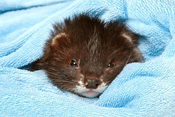 Ferret lying in soft blanket